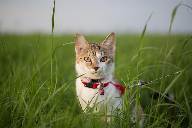 kaķis pavadā